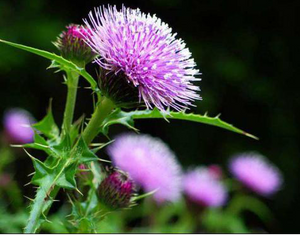 milk thistle extract powder- Lyphar.png